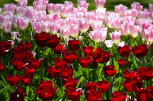 Pink and red tulips close-up shot at Keukenhof, The Netherlands